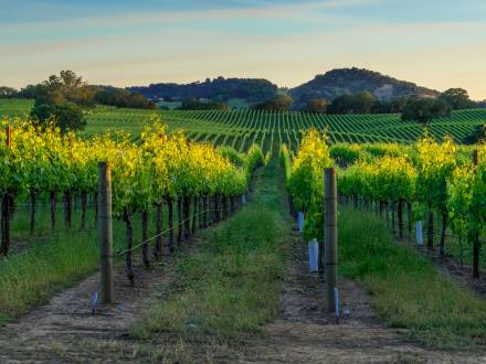 lush grape vines in vineyard